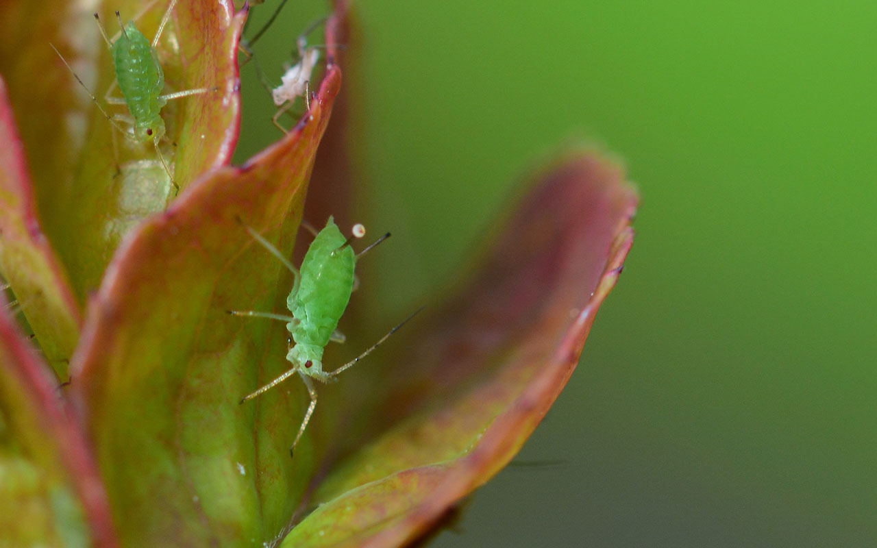 Extreme close up of aphids on a rose
