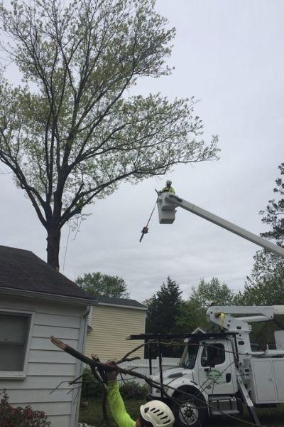 A Green Vista team member uses a bucket truck to reach a tree