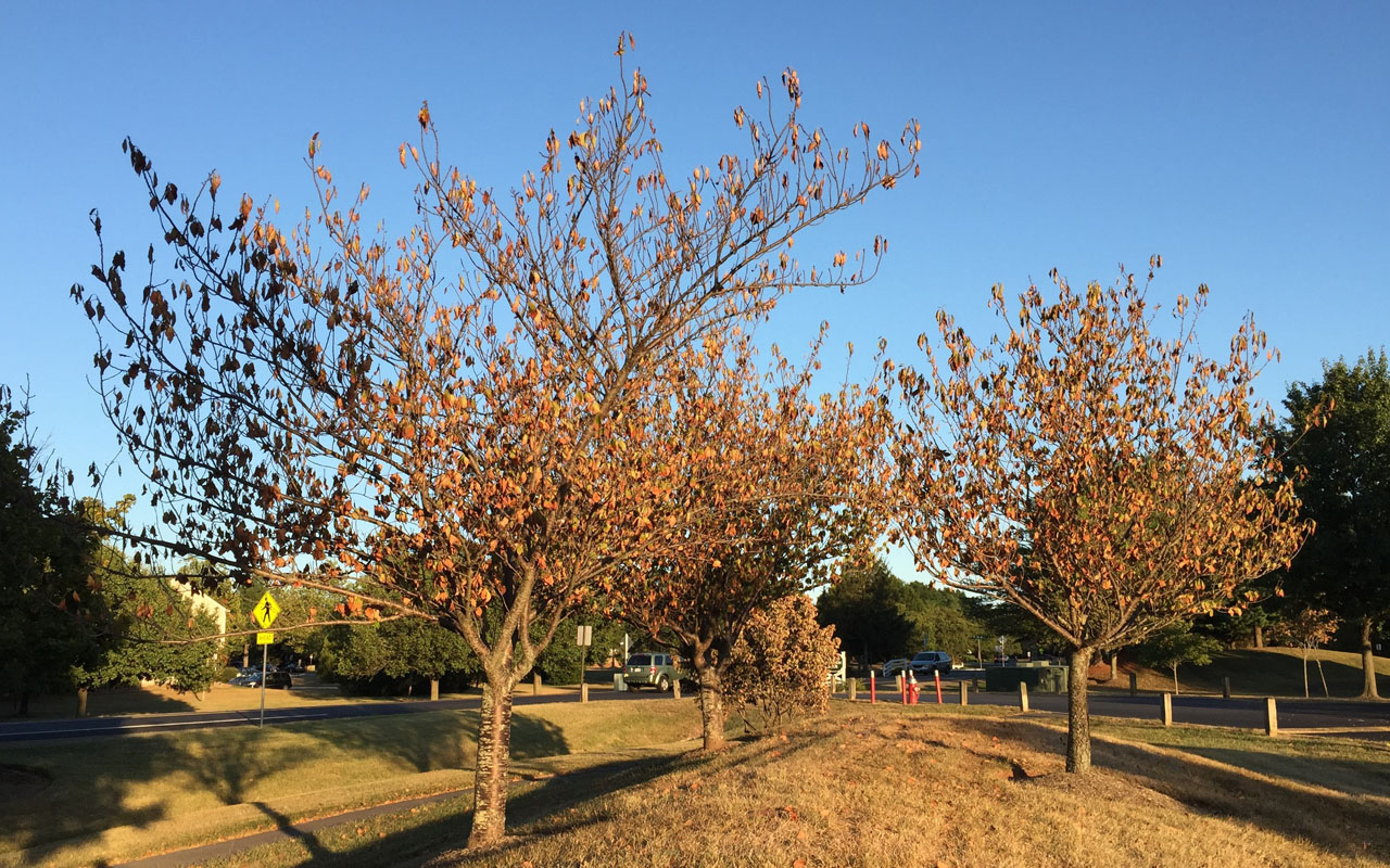 Cherry trees shedding foliage due to drought in Fairfax County, Virginia