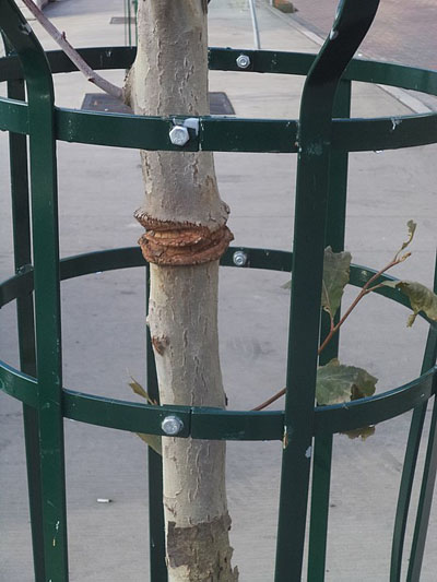 damage to a tree trunk from tree staking. A street tree with a green metal cage around it shows obvious signs of damage from staking.