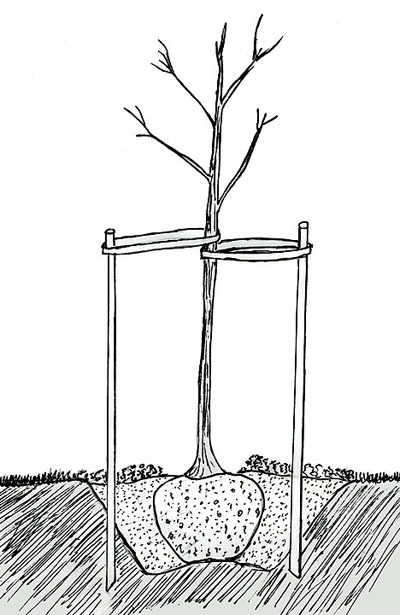 A drawing showing how to stake a tree