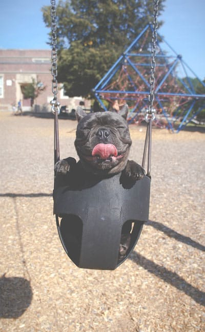 a dog sticks his tongue out while in a swing on a playground. Wood mulch covers the ground