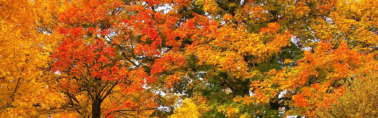 5 Best Trees For Fall Color In Northern Virginia Green Vista