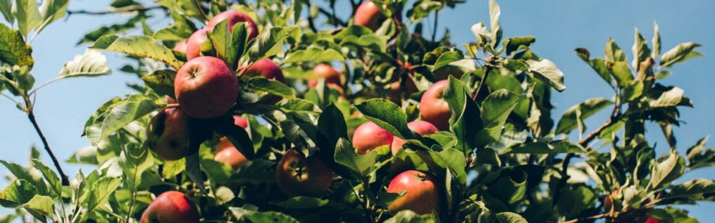 apples growing on an apple tree in Virginia
